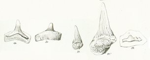 Hybodus longiconus Tafel 24 fig. 19-22