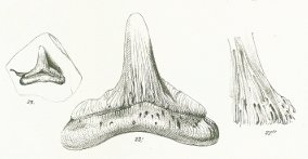 Hybodus longiconus Tafel 24 fig. 23