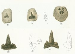 Hybodus minor Tafel 23 fig. 21, 22, 23, 24