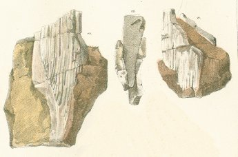 Hybodus major Tafel 8b fig. 10, 11, 12