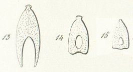 Nemacanthus monilifer Tafel 7 fig. 13, 14, 15