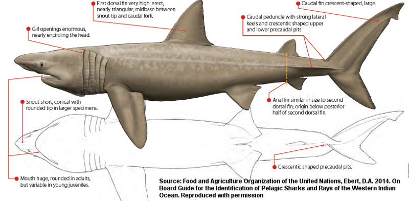 Cetorhinus maximus | Shark-References