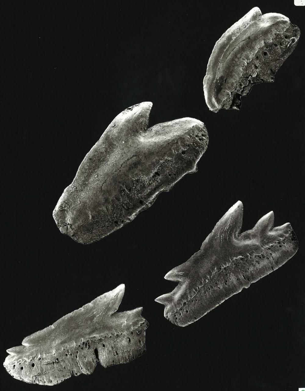 Echinorhinus cookei