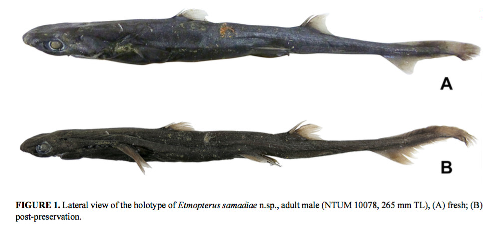 A new lanternshark, found near Papua New Guinea