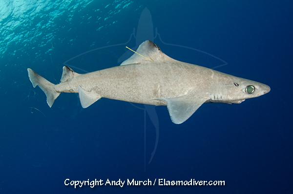 Gulper shark