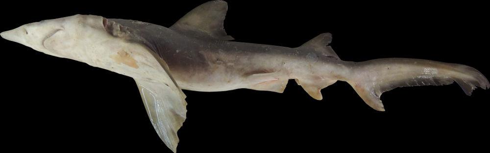Isogomphodon oxyrhynchus | Shark-References