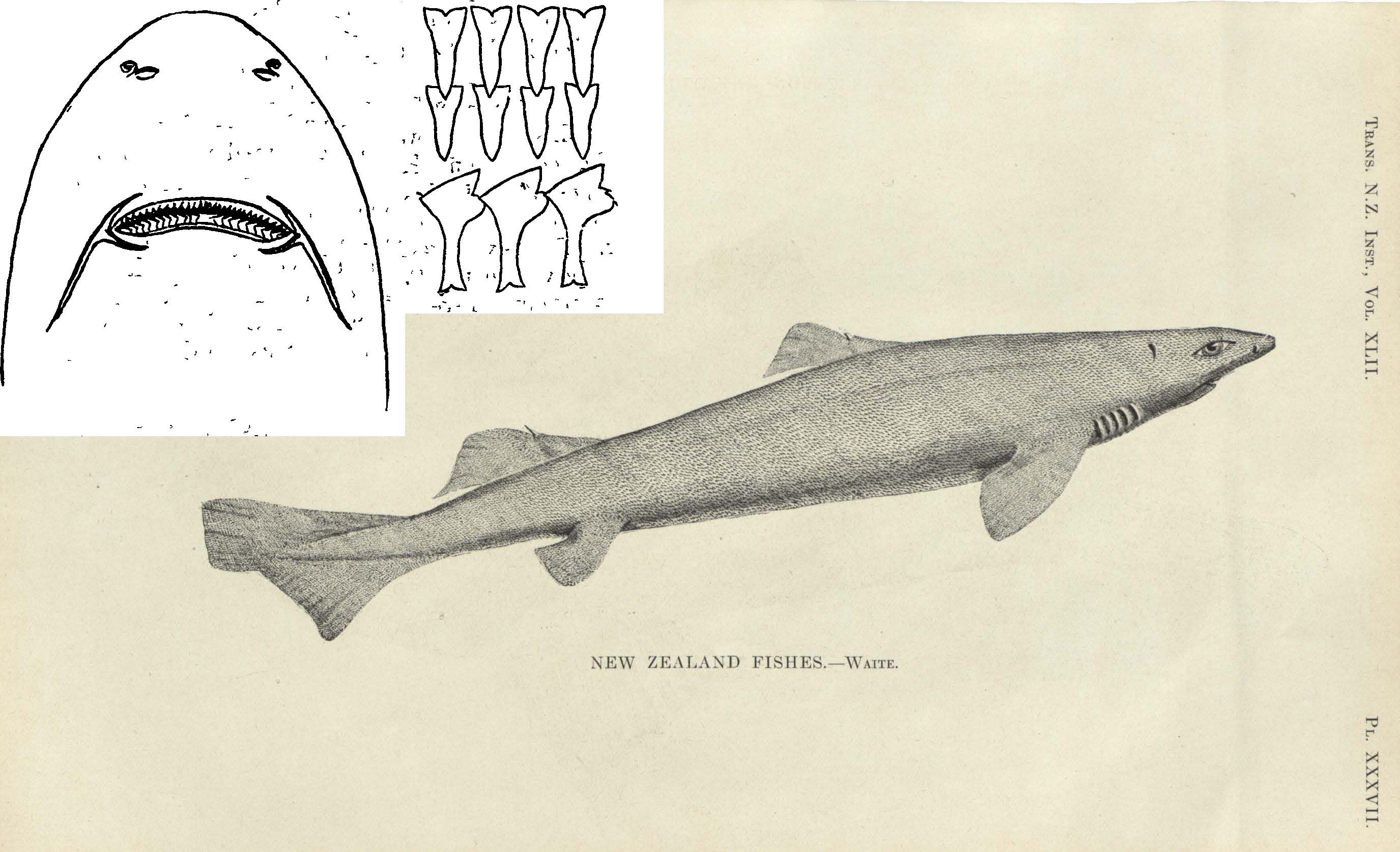 Вельветовая колючая акула Планкета, или Уайта (Proscymnodon plunketi), фото фотография рыбы