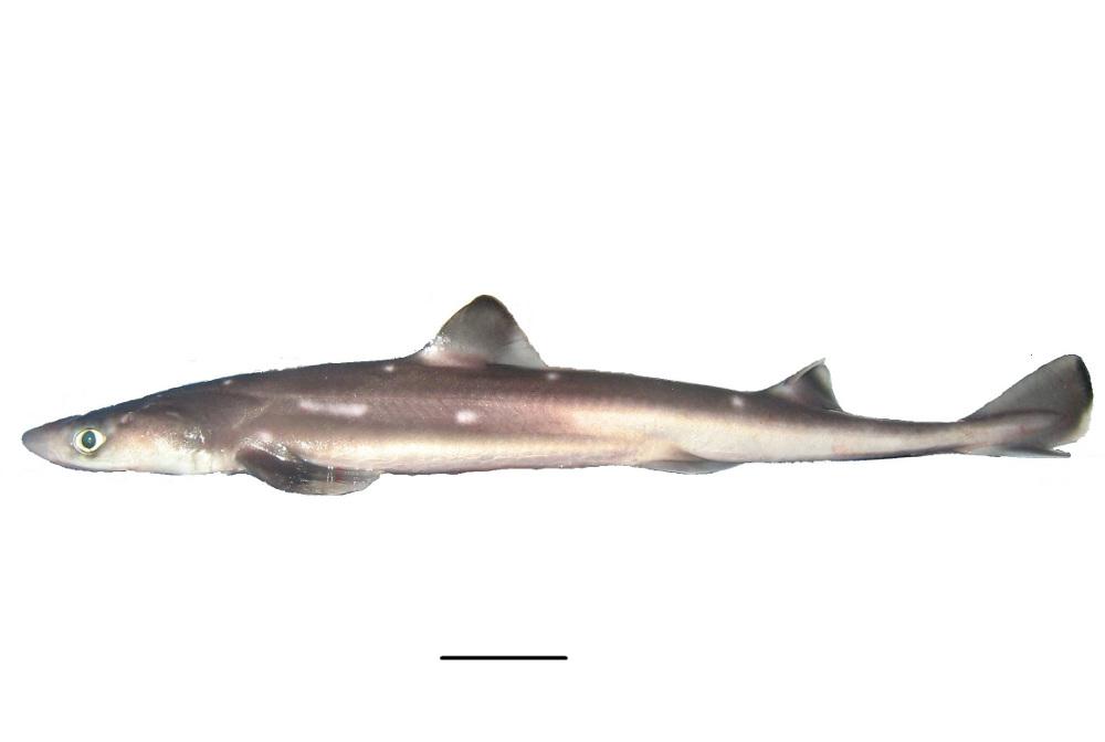 Squalus acanthias   Shark-References