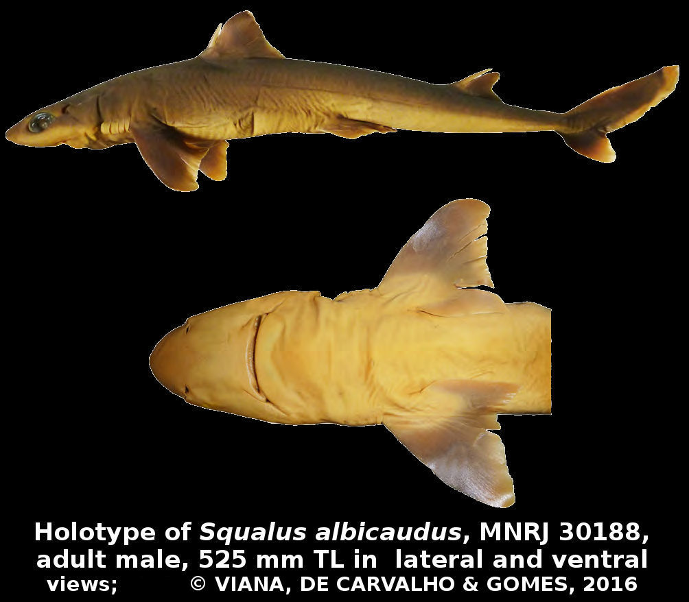 Four new species of deep ocean dogfish sharks